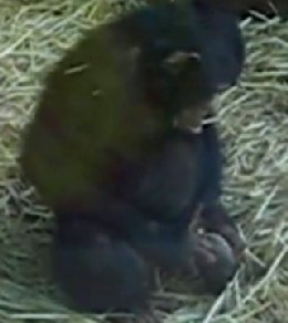 Monkey having sex with a frog
